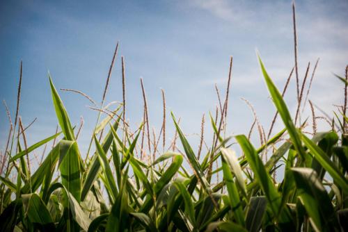 Tall Corn Tassels