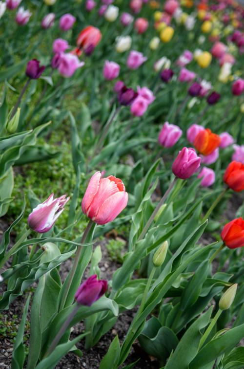 Tulips Midland Michigan