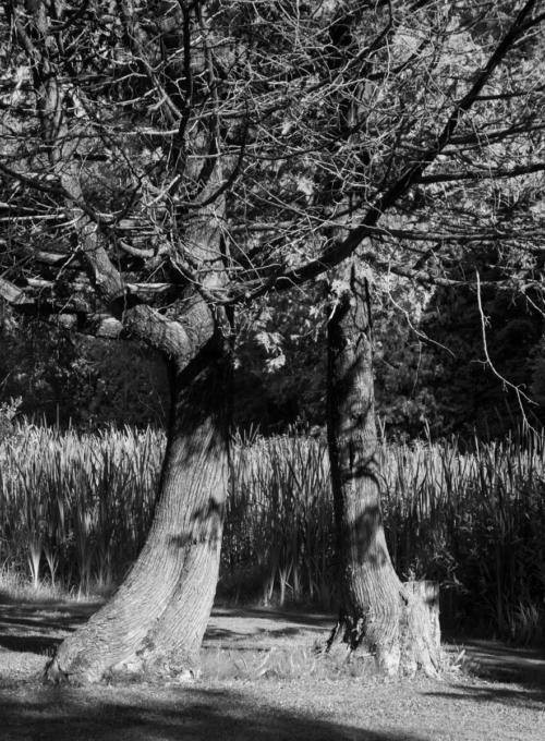 Mirrored Cedar Trees