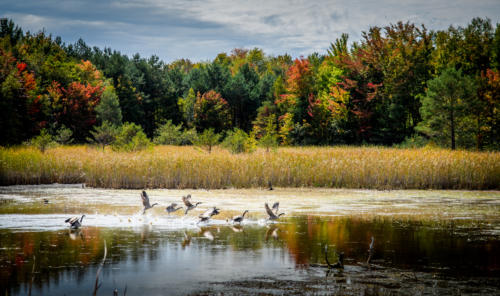 Early Fall Color Geese 2017